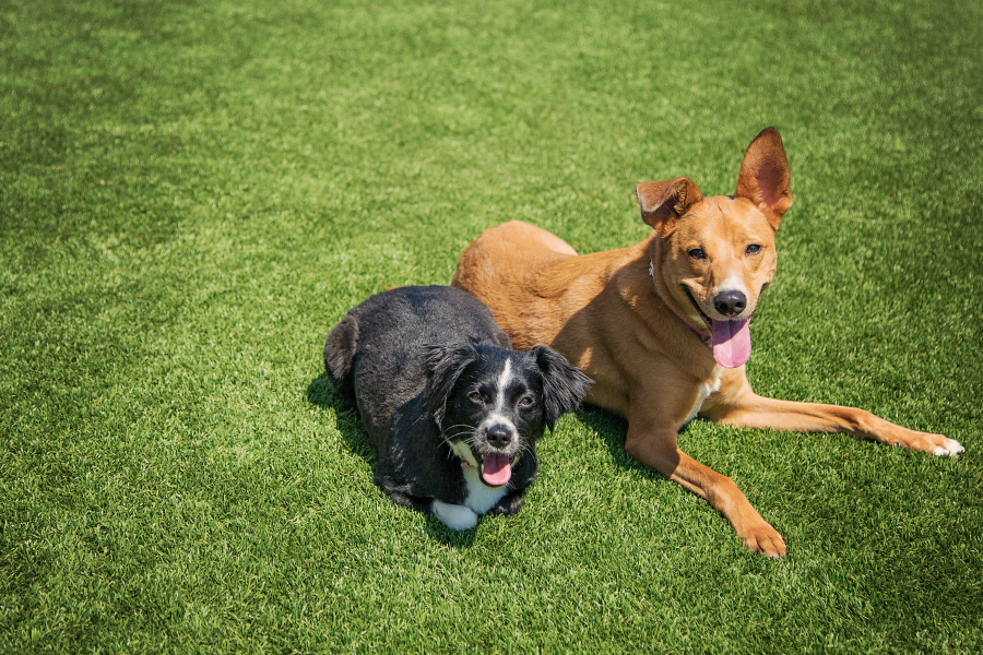 a brown dog and a black dog on artificial grass
